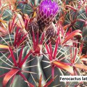 Ferocactus latispinus 2
