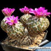 Pelecyphora strobiliformis 2