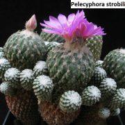 Pelecyphora strobiliformis 3